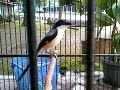Kumpulan  Suara Burung Pentet Atau Cendet Vol   Mp3 - Mp4 Download
