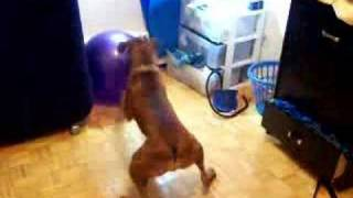 Ryken The Boxer Vs Yoga Ball