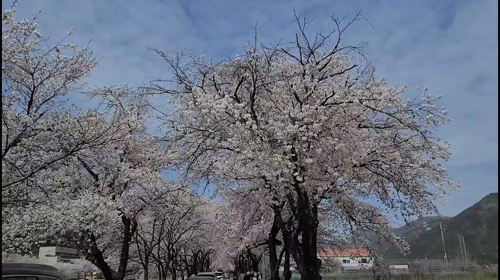 송광사 벚꽃길