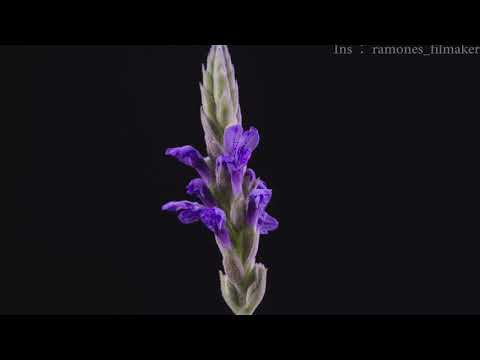 [Flower Time Lapse] Lavender, Periwinkle, and sorrel#8