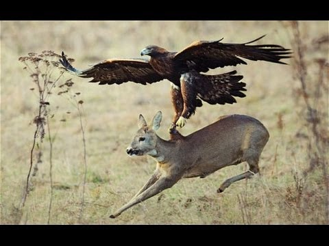 Top 3 Best Eagle Attacks (OWL, DEER & WOLF)