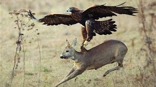 Repeat youtube video Top 3 Best Eagle Attacks (OWL, DEER & WOLF)