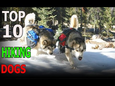 Top 10 HIKING dog breeds | Top 10 animals