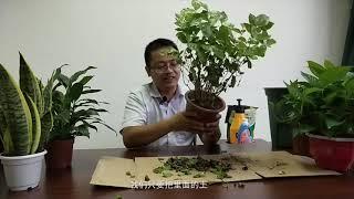 剛剛買的茉莉花,這樣換盆換土,花開不斷