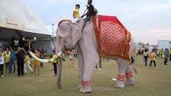 Der weiße Elefant von König Bhumibol
