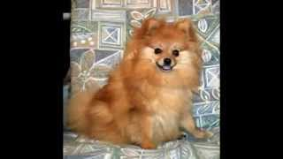 Pomeranian Dog Picture Gallery