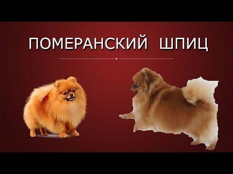 Собака померанский шпиц  - чудесная собака!