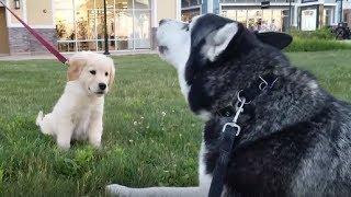 siberian-husky-adorably-talks-to-golden-retriever-puppy