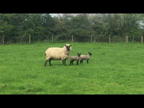 Lambs in Maids Moreton