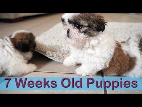 Wild 7 weeks old Shih Tzus Puppies