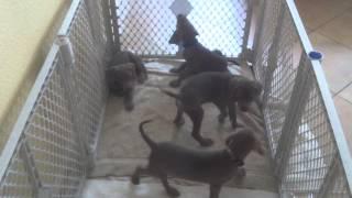 Weimaraner Rescue Puppies, Getting Bigger!