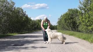 Пиренейская горная собака YAKOGOR SHAMPAN` ARDENNI