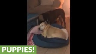 Needy dog barks at canine friend for attention