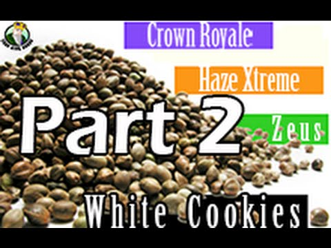 How to: Germinate Cannabis Seeds Part 2