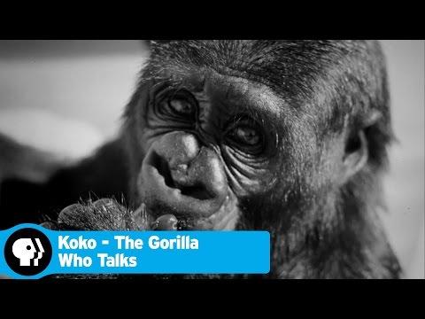 KOKO - THE GORILLA WHO TALKS   Cutest Moments   PBS