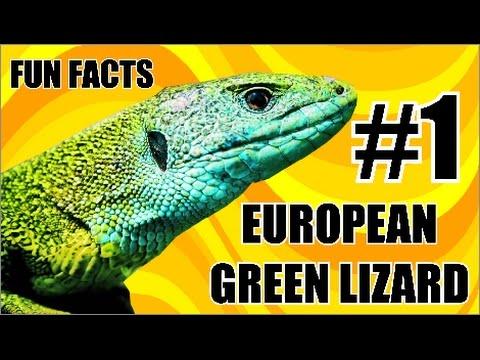 Reptile fun facts #1 EUROPEAN GREEN LIZARD (Lacerta viridis)