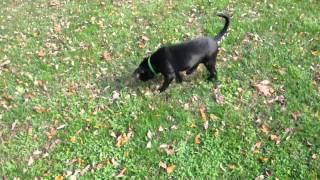 Rescue Pup - Black Lab, Beagle Mix Available To Adopt!