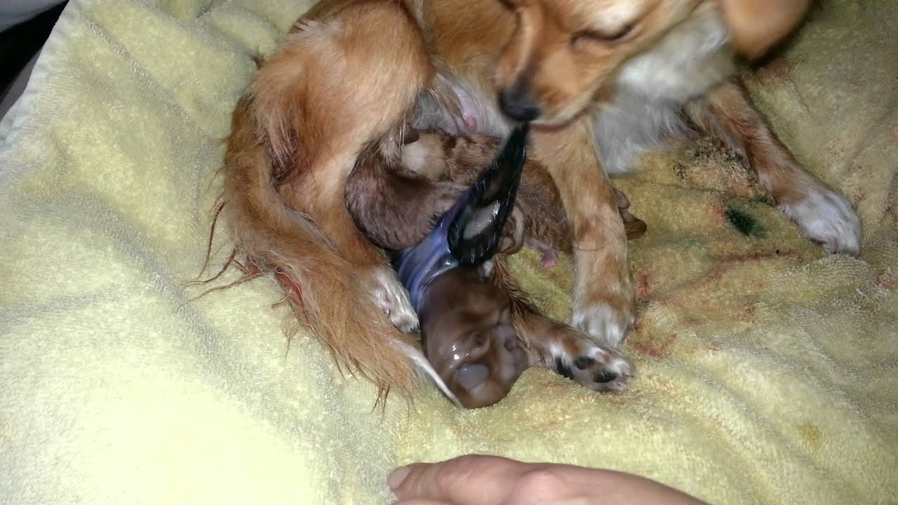 How To Help A Dog Deliver Puppies Do Dogs Eat Placenta