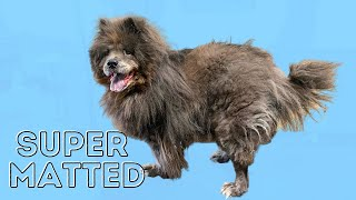 Matted Chow Chow Shave Down | Major Transformation [CC] (rev)