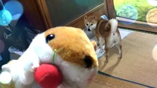 新しいおもちゃで飽きるまで遊び倒す The dog plays with new toy endlessly