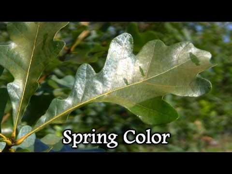 *Plant a White Oak Tree* +Quercus alba+Best Wildlife Shade Trees+