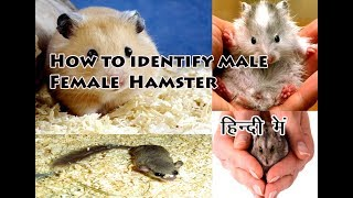How to identify male Female in Hamster in Hindi| Hamster male female Pehchaan