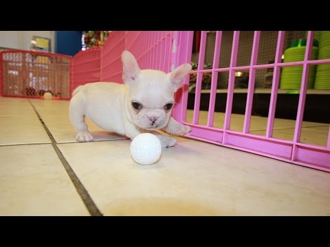 WHITE FRENCH BULLDOG PUPPIES FOR SALE GEORGIA LOCAL BREEDERS