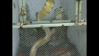 Dong Tam Snake farm Vietnam Poor bastard