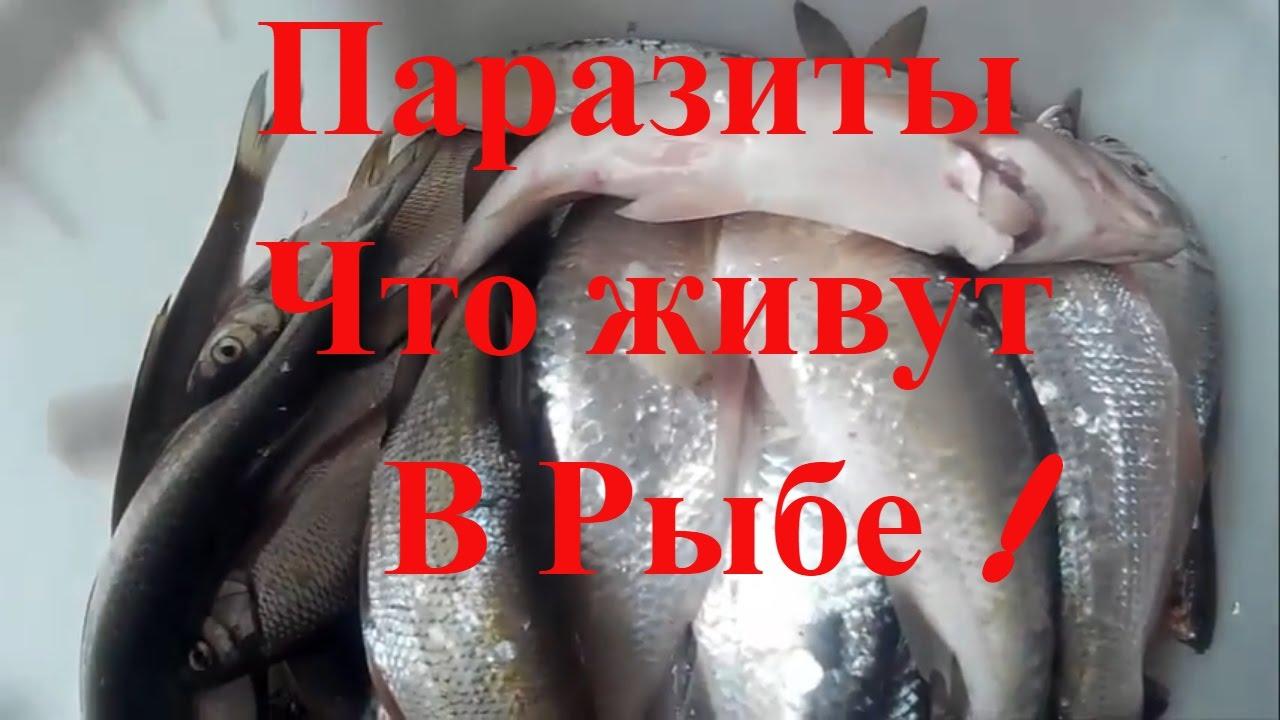 Паразиты  что живут в речной рыбе, будьте бдительны!