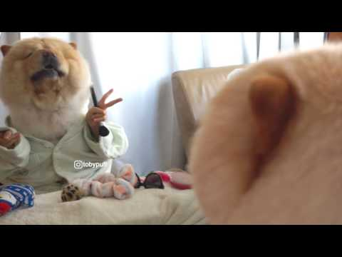 FUNNY CHOW CHOW GROOMING