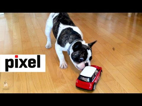Pixel the French Bulldog Loves a Remote Control Car