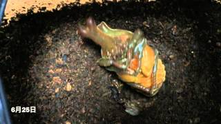 カブトムシの幼虫→サナギ→成虫までの約2か月の成長過程を短縮して撮影。