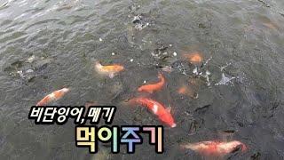 비단잉어, 메기 먹이주기 / Feeding fish ~…