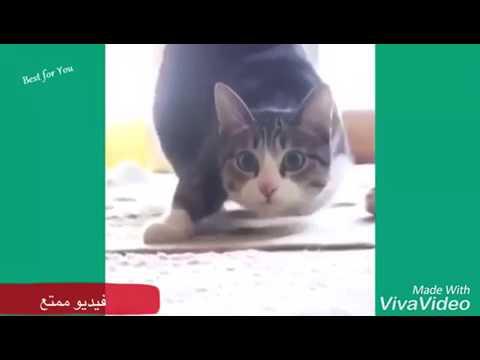 مقاطع مضحكه عن القطط