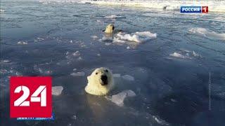 Жители чукотского села стали заложниками голодных белых медведей - Россия 24