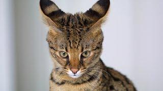 Слайд-шоу «Самые красивые породы кошек»