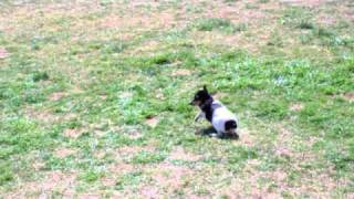 Quest For The Ball |toy Fox Terrier Vs. German Shepherd Dog|on The Ball K9 Training