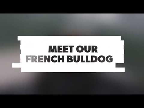 SSPC- French Bulldog