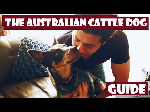 The definitive Introduction to the Australian Cattle Dog 101 (heeler)