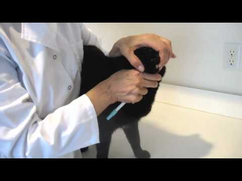 Giving Oral Medications to a Cat
