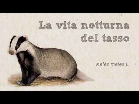 La vita notturna del tasso (Meles meles L.)