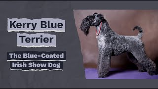 Kerry Blue Terrier – The BlueCoated Irish Show Dog