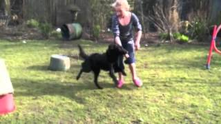 Flatcoated Retriever Learning Dog Agility