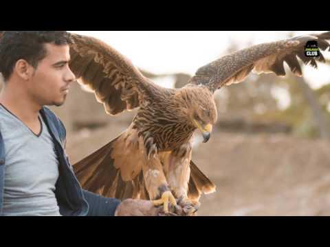 eastern imperial eagle العقاب الملكي الشرقي