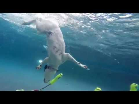 Border Collie Pit Bull mixed breed dog CoCo dives underwater for kong dog toy