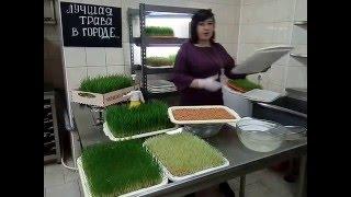 видео как прорастить пшеницу для кур в домашних условиях