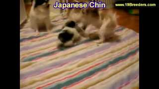 Japanese Chin, Puppies For Sale, In, Kent, Washington, Wa, Bainbridge Island, Mercer Island, Maple V