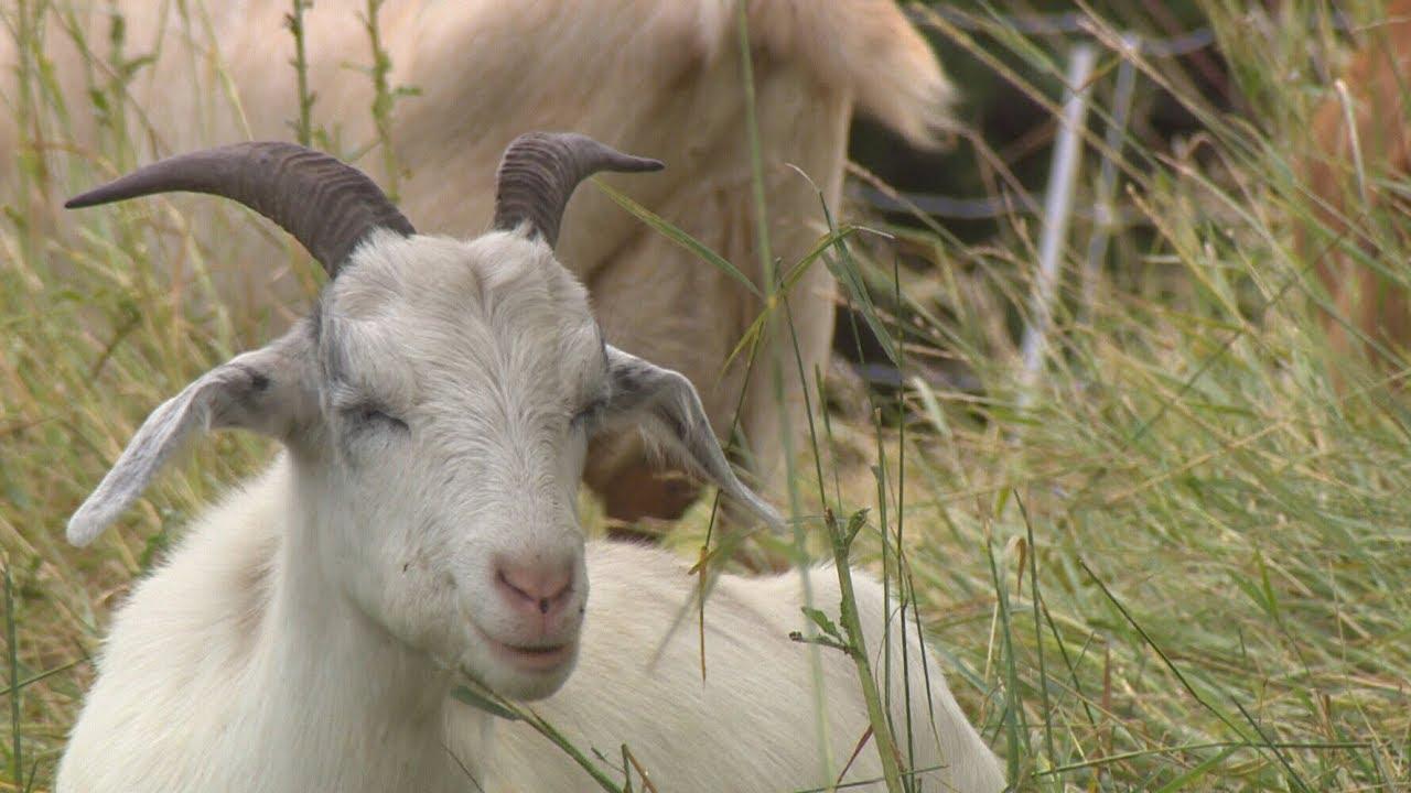 Loves goats? Edmonton hiring coordinator to oversee herd
