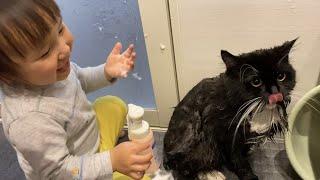 オリーブオイル漬けになった身体を洗ってもらう猫 ラガマフィンA cat taking a shower. Ragamuffin.