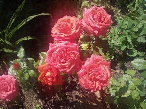 Цветы в деревне (18.07.2019 Свердловская область)
